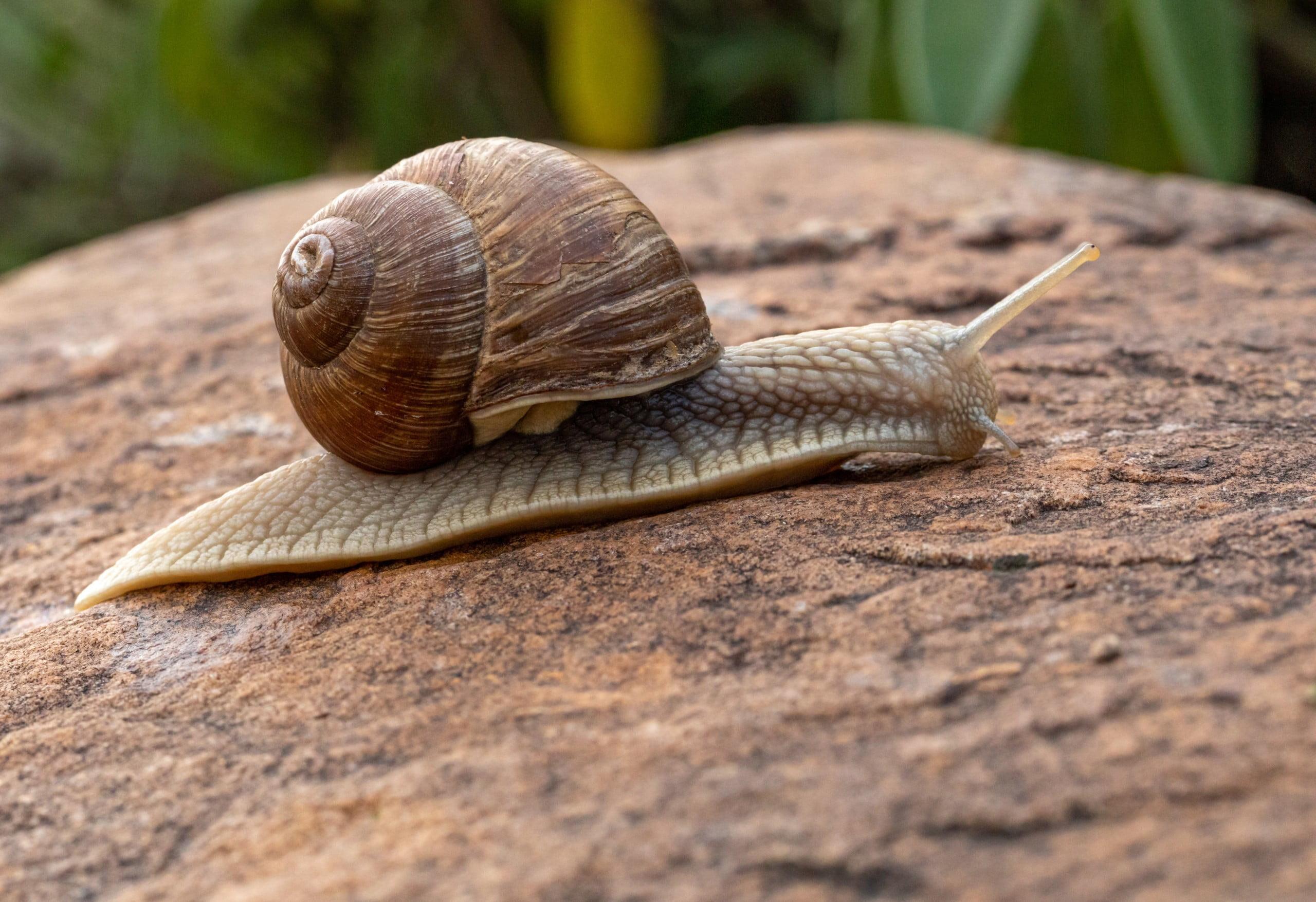 brown snail on rock