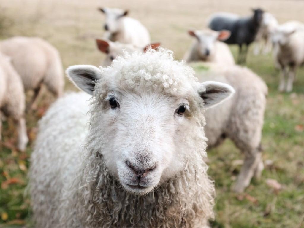 羊毛出在羊身上